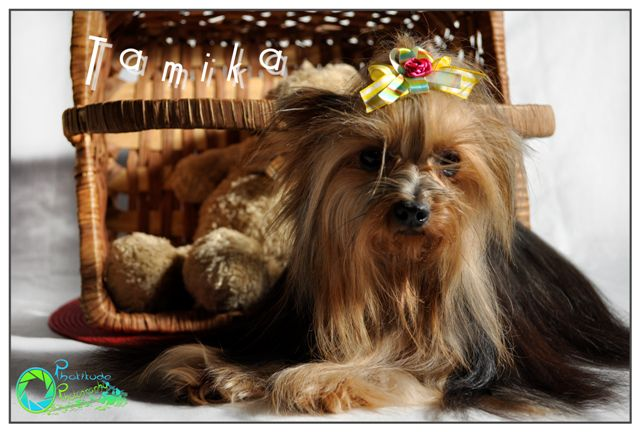 tamika--yorkshire-terrier