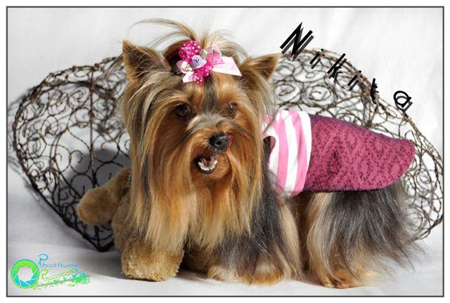 nikita--yorkshire-terrier