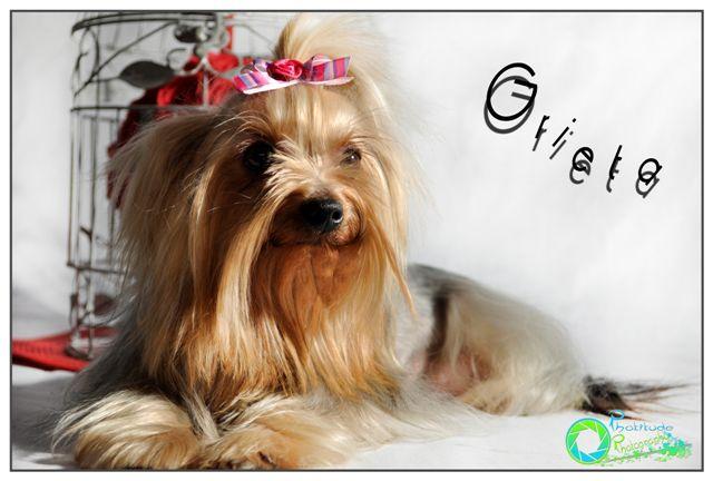 grieta-yorkshire-terrier
