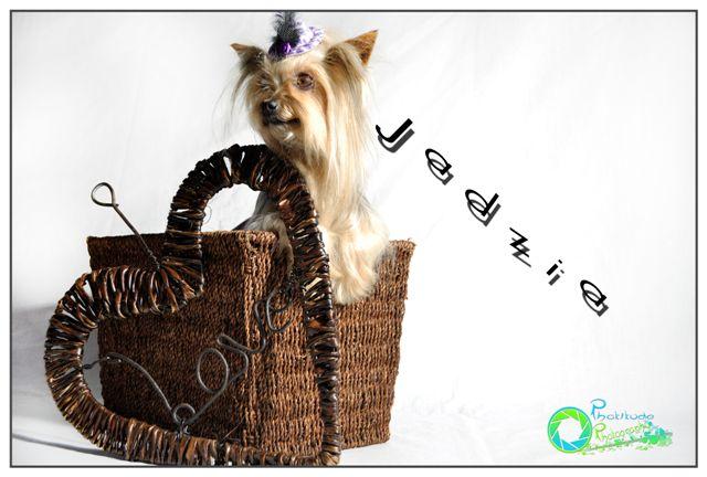 jadzia--yorkshire-terrier