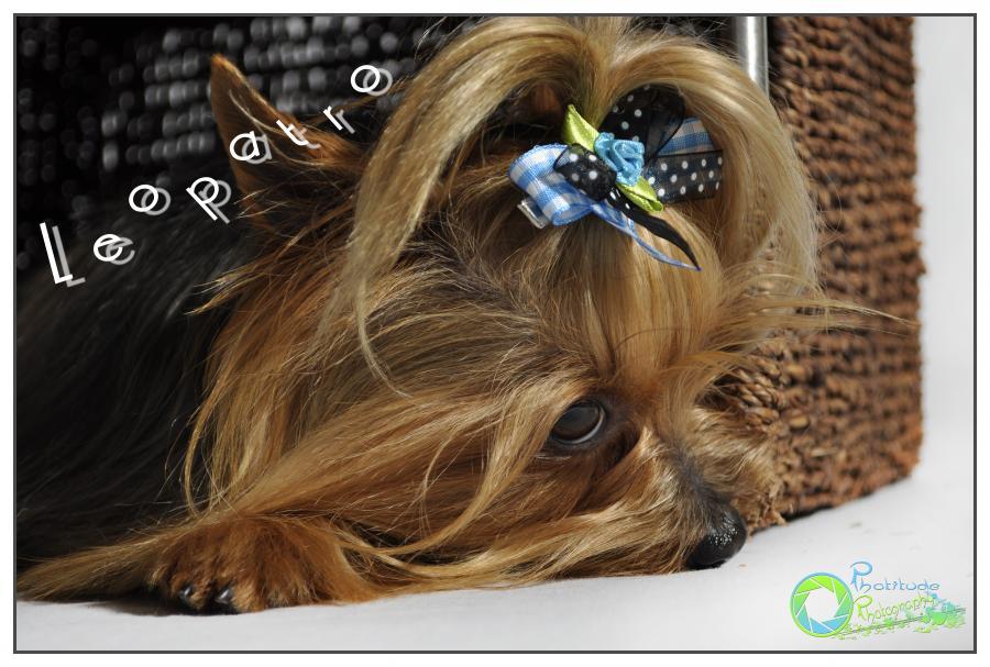 leopatro--yorkshire-terrier