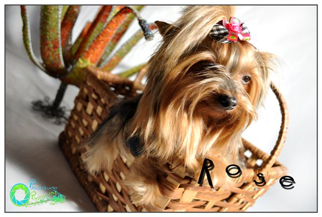 rose--yorkshire-terrier