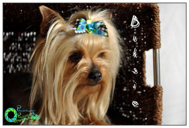 buksie-yorkshire-terrier