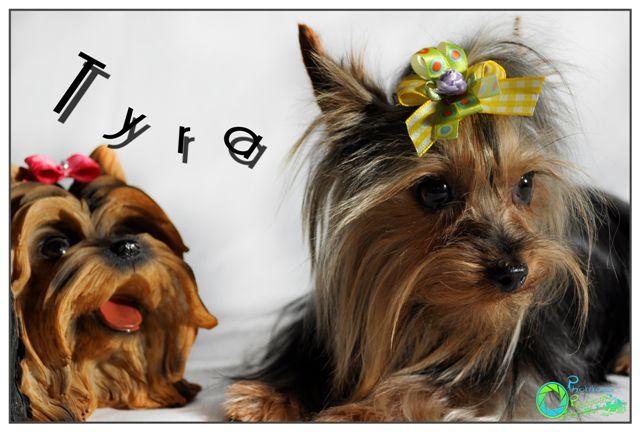 tarra--yorkshire-terrier