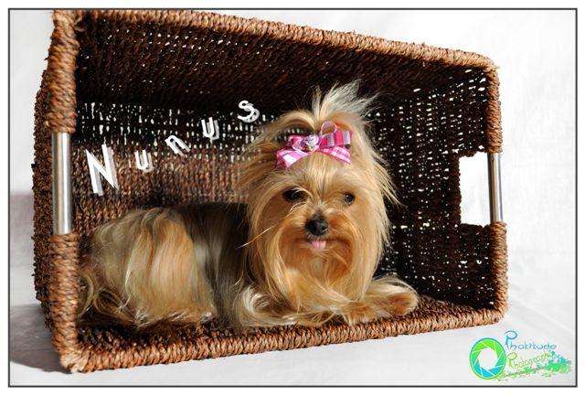 nunus--yorkshire-terrier
