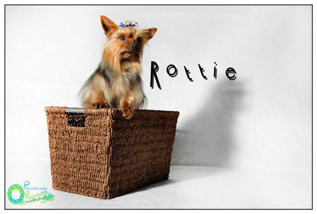 rotti--yorkshire-terrier