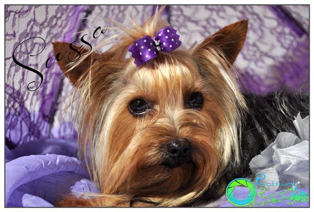 sussa--yorkshire-terrier