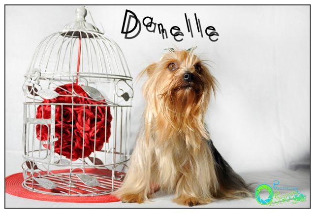 danelle--yorkshire-terrier