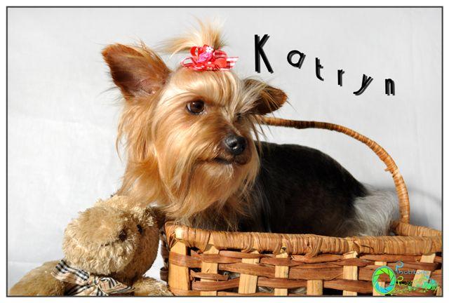 katryn--yorkshire-terrier