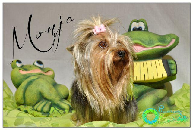 monja--yorkshire-terrier