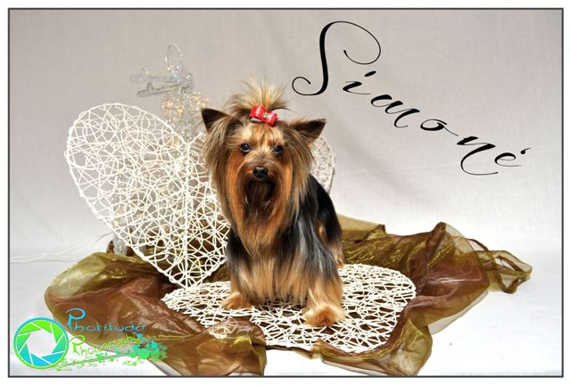 simone--yorkshire-terrier