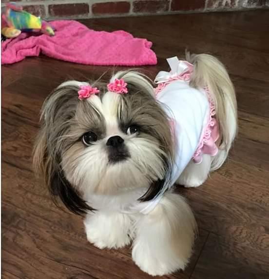 shtizu-puppies